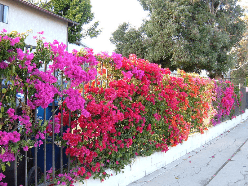 Loài hoa này rất thích hợp trồng trong nhà