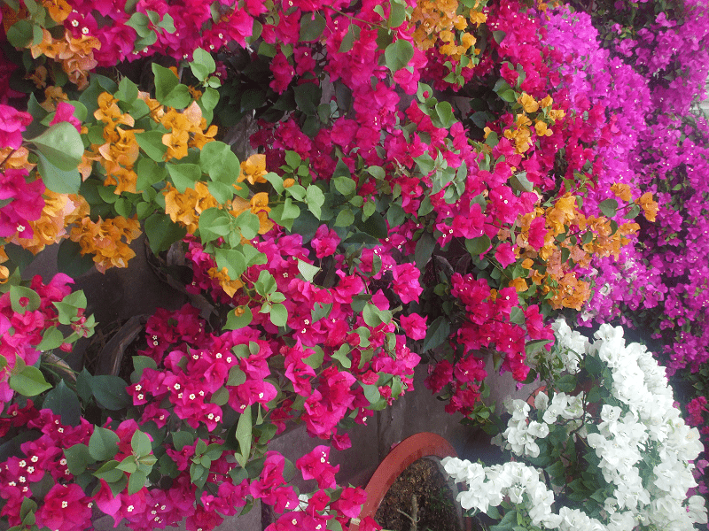Cây hoa giấy là loài cây ưa nắng nên cần đặt ở nơi nhiều nắng, gió
