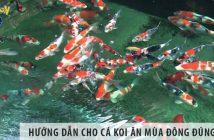 Hướng dẫn cho cá koi ăn mùa đông đúng cách