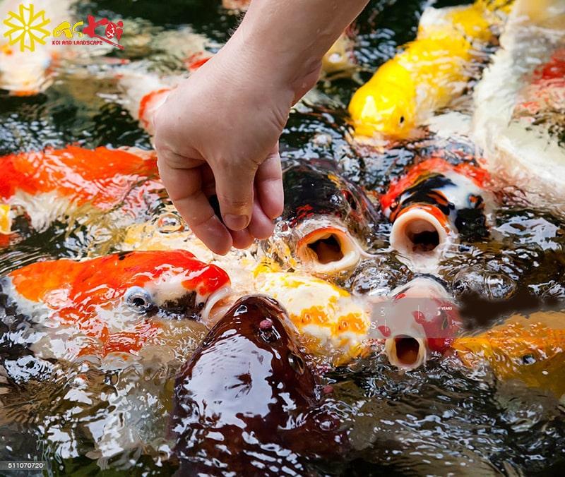 Liều lượng thức ăn cho cá koi vào mùa đông cần phải được điều chỉnh