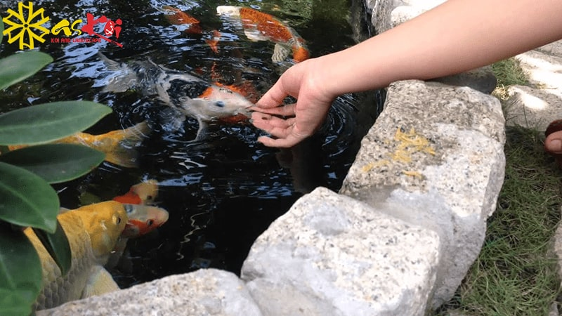 Cá koi Nhật ăn tạp, chúng có thể ăn liên tục không ngừng